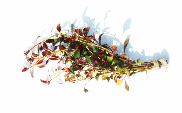Ludwigia Glandulosa (The Ultimate Mix of Ease and Color)