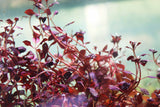 "Ludwigia ""Triple Red"""