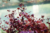 "Ludwigia ""Triple Red"" Easy RED aquarium plant"