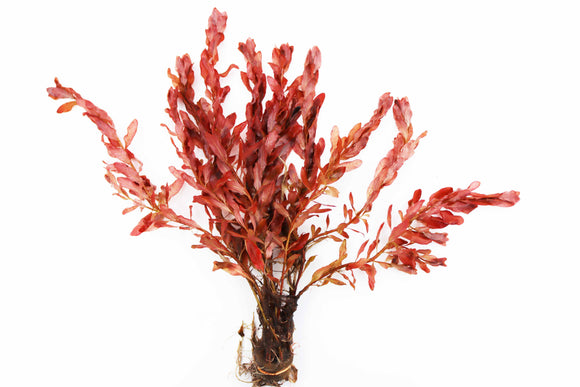 Ludwigia Inclinata (Wow Red)