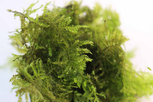 Peacock Moss   (Sweet Aquarium Moss)