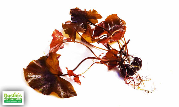 Red Tiger Lotus- EASY RED Aquarium Plant for sale