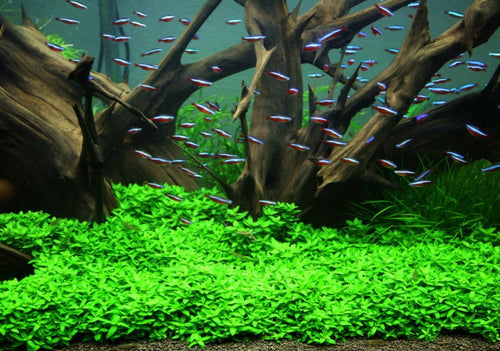 Staurogyne Repens in Tom Barr's tank
