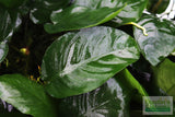 "Anubias Barteri ""Broadleaf"" (Our Largest Anubias)"