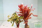 Ammania Gracilis (Thick RED Aquarium Plant)