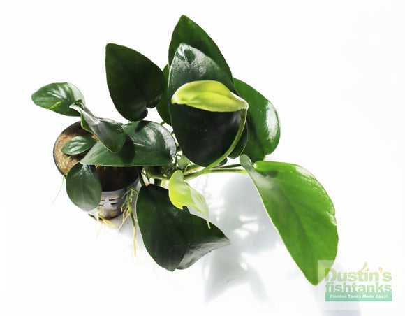 Anubias Nana ( Our Best Selling Anubias Plant)