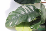 Anubias Coffeefolia-Unique Hardy Aquarium Plant