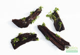 Anubias Nana Petite Aquarium Plants on Driftwood (made in house!)