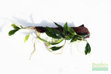 Anubias Minima Aquarium Plants on Driftwood (made in house!)