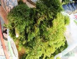 Hornwort (The ultimate cover for Fish Fry)