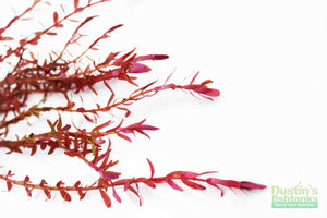 Rotala Rotundifolia RED for sale