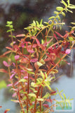 "Rotala Rotundifolia ""Red"" HARDY RED Aquarium Plant for sale"