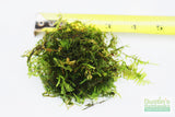 Spiky Moss-  Selaginella Rupestris