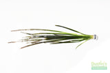 Vallisneria Spiralis Leopard (Easy Background Aquarium Plant)