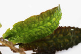 Cryptocoryne Hudoroji. (Rare and Ruffled)