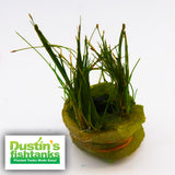 Dwarf Hair Grass (the ULTIMATE Carpet Plant)