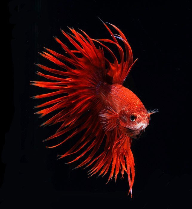 Siamese fighting fish captured by Visarute Angkatavanich
