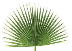 Fan Leaf Palm - JSFAN
