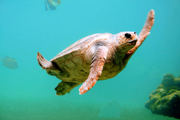 Say Hello to Our Adopted Sea Turtle, Krakatoa!