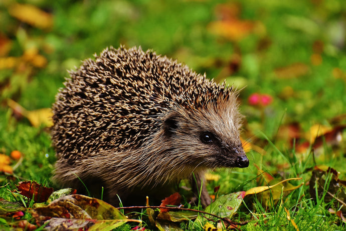 7 Ways to Help the Hedgehogs in your Garden