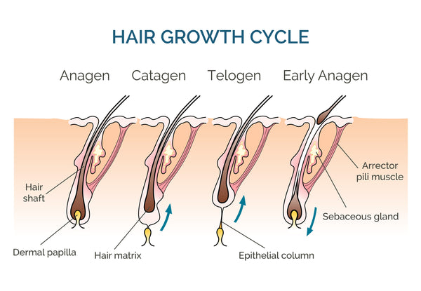 Hair Growth Cycle Chart