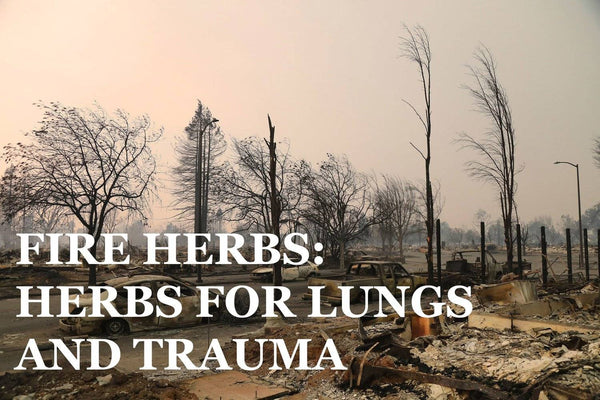 herbs for smoke inhalation and lung protection - scarlet sage