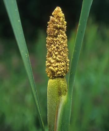 Alaskan Essences Cattail Pollen