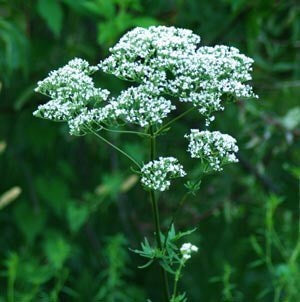 Strictly Medicinal Valerian Seeds - The Scarlet Sage Herb Co.