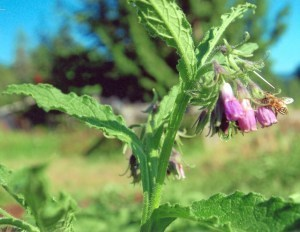 Strictly Medicinal True Comfrey Seeds - The Scarlet Sage Herb Co.
