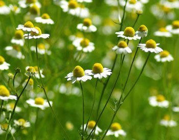 Strictly Medicinal German Chamomile Seeds - The Scarlet Sage Herb Co.
