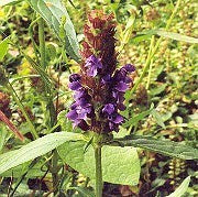 Strtictly Medicinal Self Heal Seeds - The Scarlet Sage Herb Co.