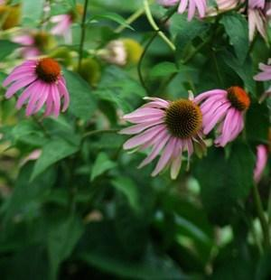 Strictly Medicinal Purple Coneflower Echinacea Seeds - The Scarlet Sage Herb Co.