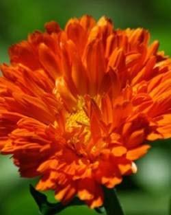 Strictly Medicinal Calendula Seeds - The Scarlet Sage Herb Co.