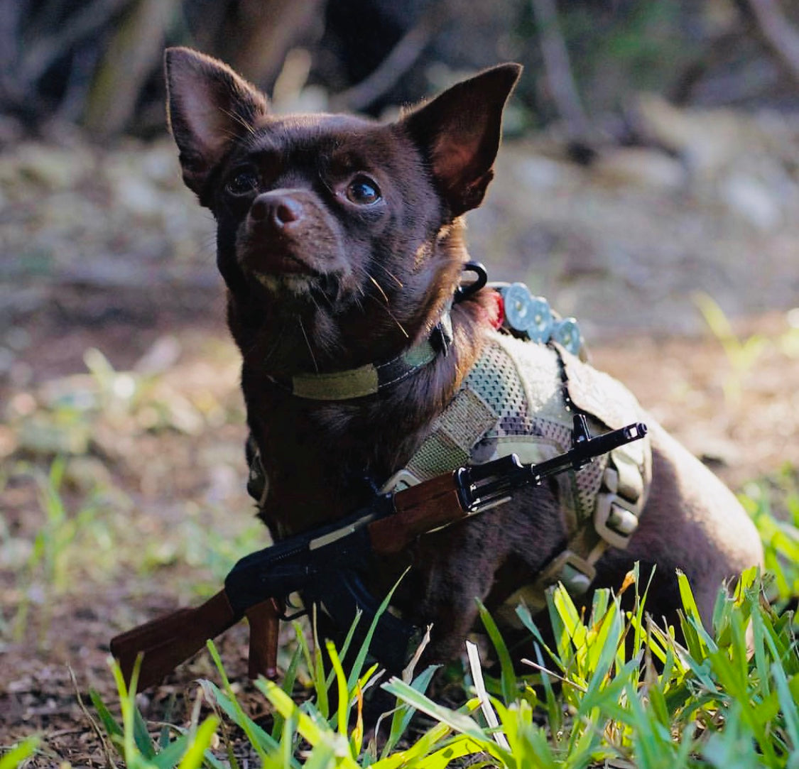 Dog with miniature toy gun around collar