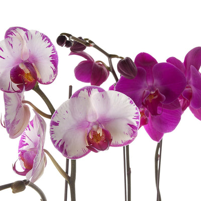 Classic Phalaenopsis Orchid Planter