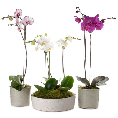 Classic Phalaenopsis Orchid Collection Planter