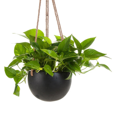 Devil's Ivy Concrete Hanging Planter