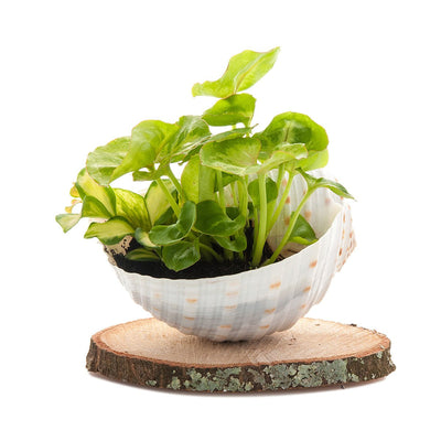 Shell Mini Nature Planter