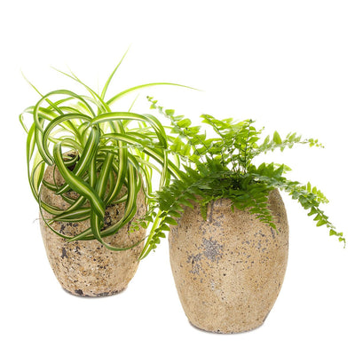 Spider Plant/Fern Atlantis Planter