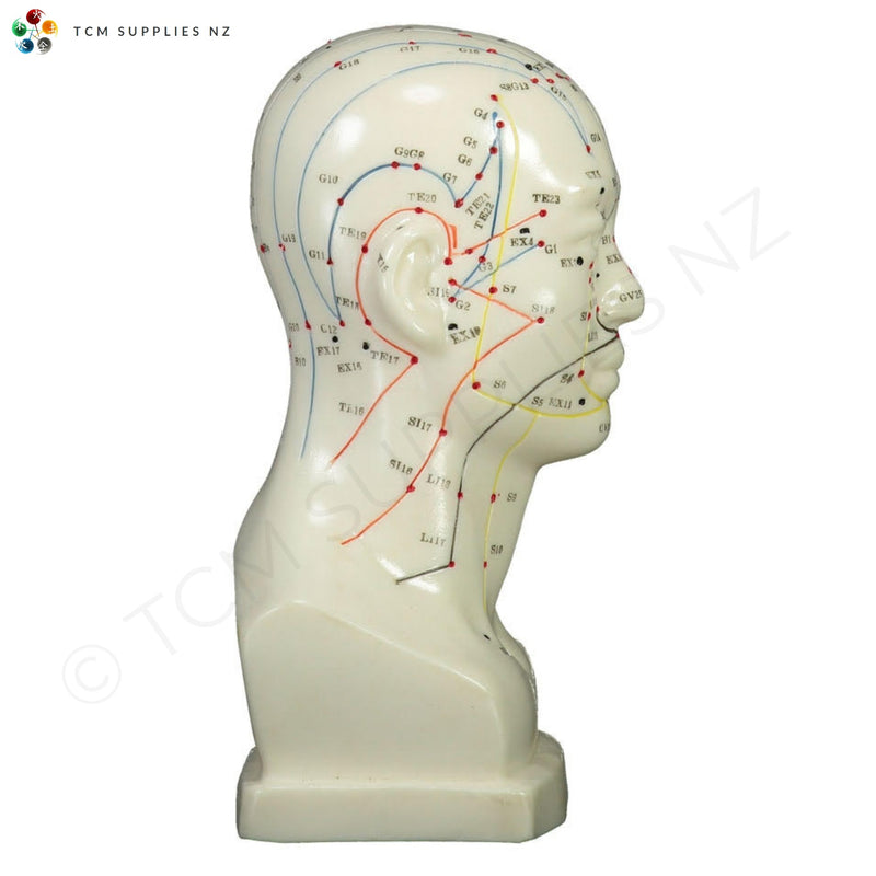 Head Model (20 cm) Right-Side  | TCM Supplies NZ