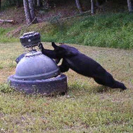 Bear trying to get in capsule feeder