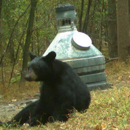 Bear tired after trying to get in capsule feeder