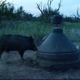 Wild boar at capsule feeder
