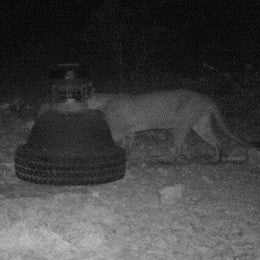 Lion tring to get in capsule feeder