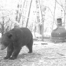 Bear walking away from capsule feeder