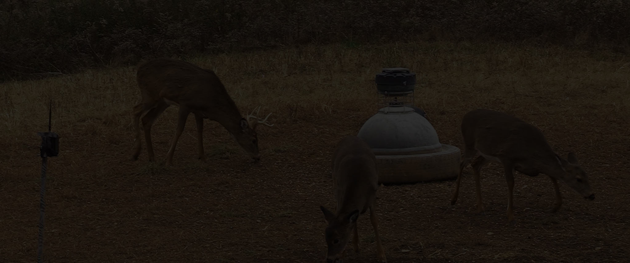 Deer eating at capsule feeder