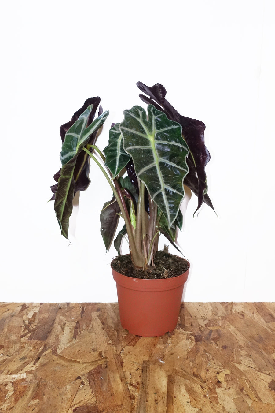 "6"" Alocasia Polly"