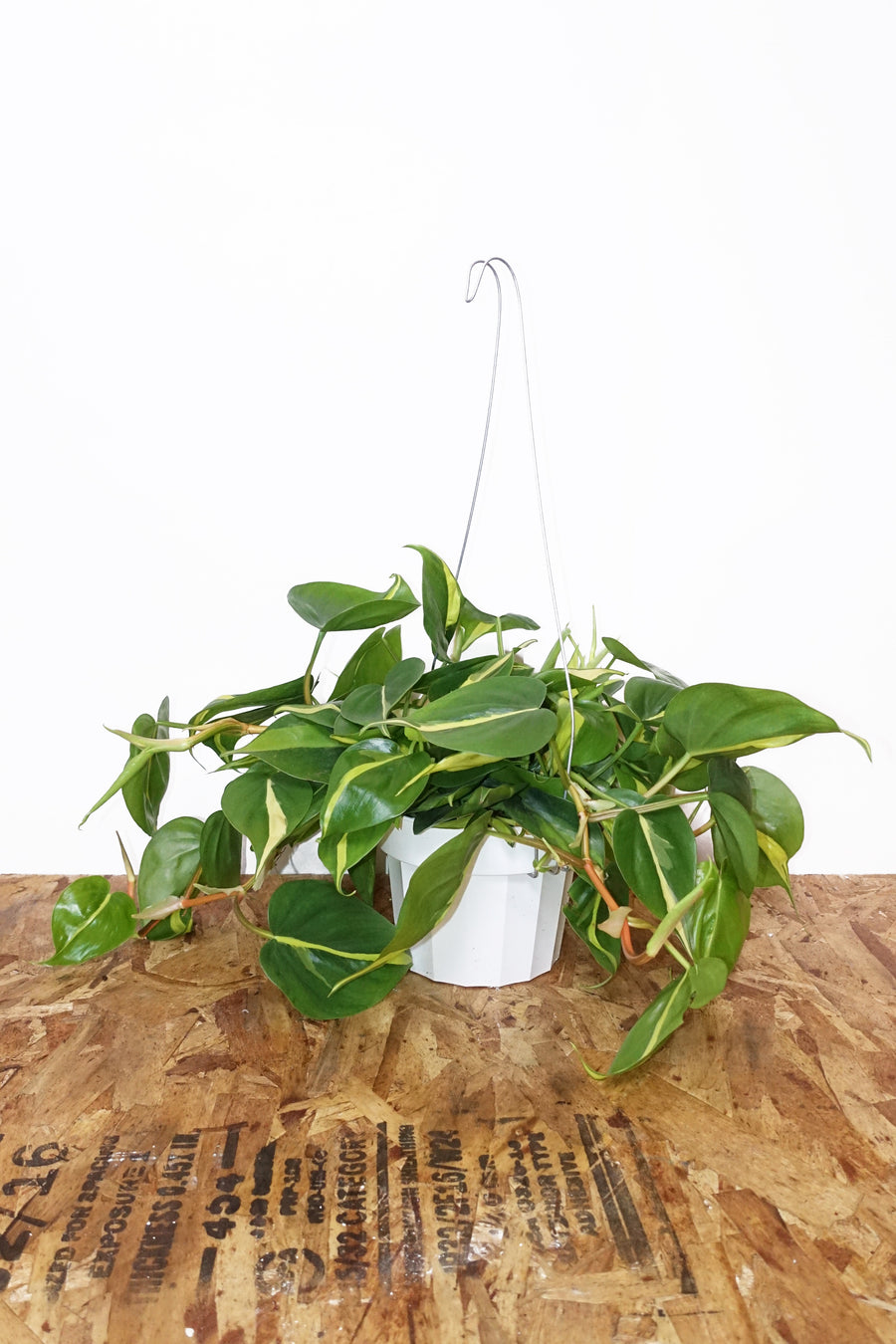"6"" Philodendron Brasil - Hanging"