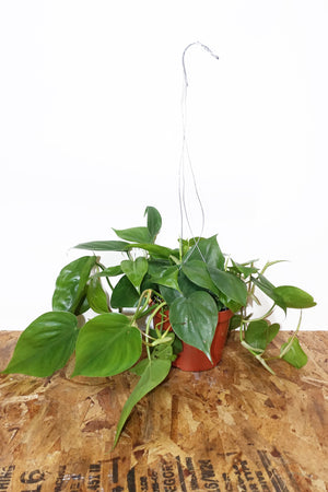 "6"" Philodendron Cordatum - Hanging"