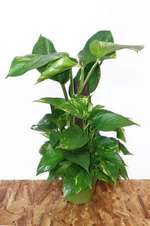 "6.5"" Pothos Golden - Pole"